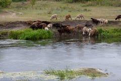 Una moltitudine di pecore ad un posto di innaffiatura Immagine Stock