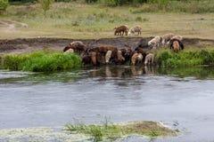 Una moltitudine di pecore ad un posto di innaffiatura Immagini Stock Libere da Diritti