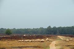 Una moltitudine di pecore all'erica che attraversa un percorso durante il grze immagini stock libere da diritti