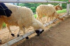 Una moltitudine di pecore chiuse-su Immagine Stock