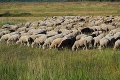 Una moltitudine di pecore sull'erba verde Fotografie Stock Libere da Diritti