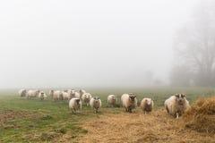Una moltitudine di pecore in un giorno nebbioso Immagine Stock Libera da Diritti