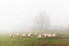 Una moltitudine di pecore in un giorno nebbioso Fotografia Stock Libera da Diritti