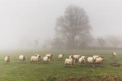 Una moltitudine di pecore in un giorno nebbioso Fotografia Stock