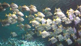 Una moltitudine di pesce tropicale bianco nuota sotto l'acqua video d archivio