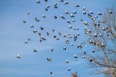 Una moltitudine di piccioni Fotografia Stock Libera da Diritti