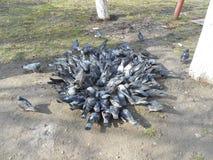 Una moltitudine di piccioni che mangiano sulla terra Fotografie Stock Libere da Diritti