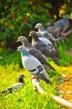 Una moltitudine di piccioni che si siedono su una pertica e su un alimento aspettante fotografia stock libera da diritti