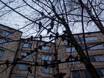 Una moltitudine di piccioni che si siedono su un albero nell'inverno Immagine Stock