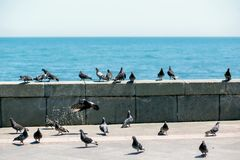 Una moltitudine di piccioni sul lungonmare di Jalta Immagini Stock Libere da Diritti