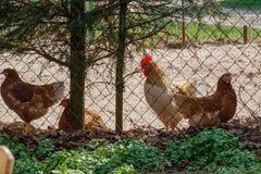 Una moltitudine di polli vaga liberamente fotografia stock