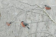 Una moltitudine di pyrrhula del Pyrrhula dei ciuffolotti si siede sui rami congelati di una betulla, un giorno di inverno freddo fotografie stock libere da diritti