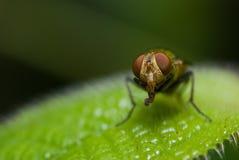 Una mosca Imágenes de archivo libres de regalías