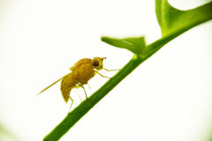 Una mosca amarilla recién nacida se sienta en el tallo de la hierba En un fondo ligero Macro imágenes de archivo libres de regalías