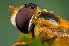 Una mosca arancione dewy di librazione Fotografie Stock Libere da Diritti