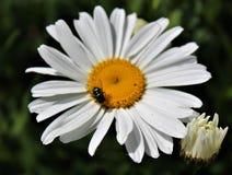 Una mosca aterriza en una margarita de Shasta para el nector Fotografía de archivo