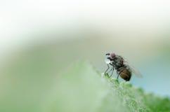 Una mosca beve l'acqua Fotografie Stock Libere da Diritti