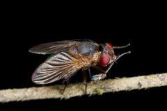 Una mosca che preening Fotografia Stock Libera da Diritti