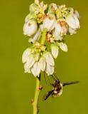 Una mosca de abeja grande que alimenta en el arándano florece. Foto de archivo