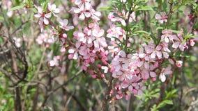 Una mosca de abeja de la miel entre los flores rosados de un bérbero en una huerta, polinizando las flores como ella busca para l metrajes