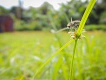 Una mosca de abeja que busca para el néctar en una flor Fotos de archivo