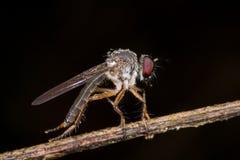 Una mosca de ladrón con lluvia cae gotas de rocío Foto de archivo libre de regalías