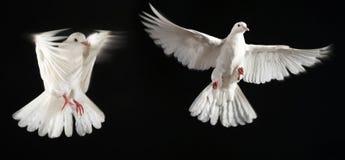 Una mosca dei due piccioni insieme immagine stock