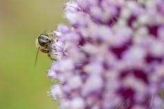 Una mosca del abejón que recolecta el polen. Imagen de archivo