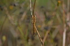 Una mosca del dragón en una hierba de la sequía fotos de archivo