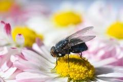 Una mosca del insecto come el polen en una manzanilla amarilla Imagen de archivo