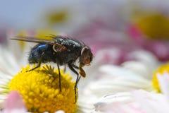Una mosca del insecto come el polen en una manzanilla amarilla Fotografía de archivo libre de regalías