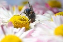 Una mosca del insecto come el polen en una manzanilla amarilla Fotografía de archivo