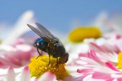 Una mosca del insecto come el polen en una manzanilla amarilla Imagenes de archivo