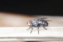 Una mosca della casa Fotografia Stock