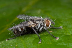 Una mosca di carne grigia dewy Fotografie Stock Libere da Diritti