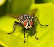 Una mosca doméstica Foto de archivo