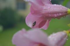 Una mosca e un fiore di ipomea Immagini Stock Libere da Diritti