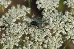 Una mosca en una flor imagenes de archivo