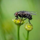 Una mosca en la flor Imagen de archivo