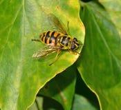 Una mosca en la hoja Fotografía de archivo