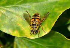Una mosca en la hoja Imagen de archivo libre de regalías