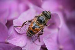 Una mosca en la hortensia Imagen de archivo