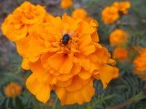 Una mosca en maravilla Fotos de archivo libres de regalías