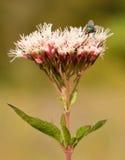 Una mosca en una flor rosada Fotografía de archivo