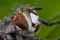 Una mosca gris con gotas de lluvia Fotografía de archivo