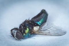 Una mosca, morta Immagini Stock Libere da Diritti