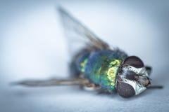 Una mosca, morta Fotografia Stock
