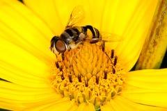 Una mosca que recoge el polen de una flor amarilla Imagenes de archivo