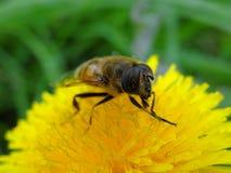 Una mosca rayada grande en polen en una flor amarilla del diente de león Imagenes de archivo