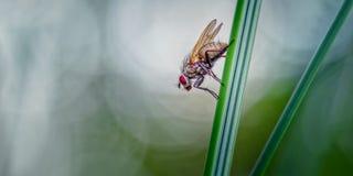 Una mosca riflette, reversio di Helina sulla foglia del Marram fotografia stock libera da diritti